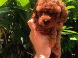0-3 aylık Toy Poodle yavruları