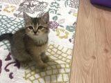 Golden black tabby  NY25 british shorthair dişi kedi uygun