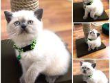 Blu point 3 aylık dişi kedimi yeni yuvası için hazır