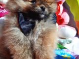Pomeranian Boo - Yavru Erkek