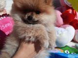 Pomeranian Boo - Yavru Dişi