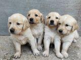 Safkan Golden Retriever Yavruları
