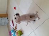 5.5 aylık dişi labrador