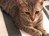 5 aylık tekir erkek kedi acil yuva aranıyor