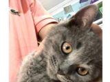 3Aylık Gri Eğitimli British Kedi