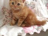 Sevimli British Shorthair Kedilerimiz Yuvalarını Arıyor