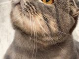 Scottish fold erkek bir yıllık  kedi sağlıklı sevgi dolu kedi için yuva aranıyor