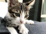 2,5-3 aylık tekir kedi