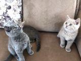 Aile evinden British Shorthair yavrularımız
