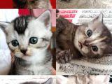 British Shorthair sevimli ve oyuncu yavru kedilerimiz