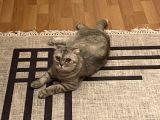 3,5 yaşında Scottish kedi