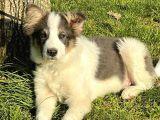 11 aylık border collie