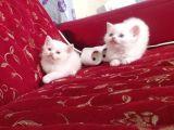 2 aylık Scottish fold ve british shorthair yavruları