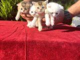 Golden shaded ve beyaz kediciklerimiz