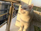 Bristish shorthair kedi