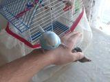 Dost Canlısı Gök Mavi Muhabbet Kuşu