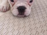 french bulldog erkek