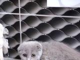 Scotish 2 aylık kediler sahiplerini arıyo