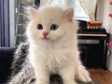 British longhair 2 aylık yavru