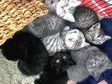 British Shorthair 6 yavru kedi