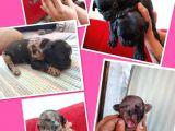 French bulldog yavrularımız yeni ailelerini bekliyor