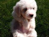 Maltese terrier orjinal yavrularımız
