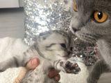 Yavru Scottish fold kediler
