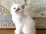 Scottish Fold BluePoint ve Beyaz British Shorthair Yavrularımız