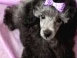 Silver mini toy poodle yavrular
