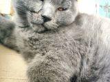 2 aylık erkek british shorthair yüzünde annesinin pati izi vardır kendini sevdiren sevimli yavru