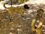 8 aylik kangalar acill