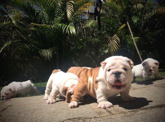 A kalite anne baba secereli orjinal ingiliz bulldog