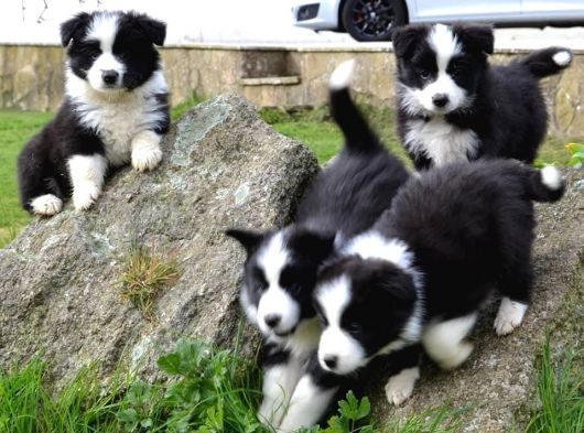 Dünyanın en zeki köpeği border collie yavrular ımız