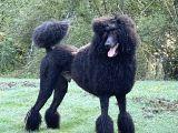 Dev standart siyah poodle erkek damızlık